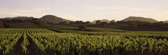vineyard-with-mountains-in-the-background-alexander-valley-sonoma-county-california-usa