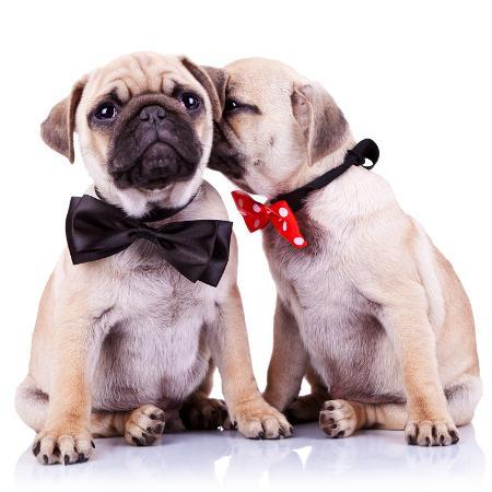 viorel-sima-lady-mops-puppy-whispering-something-or-kissing-its-gentleman-partner-while-seated