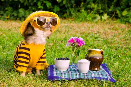 vitalytitov-chihuahua-picnic-in-summer-garden