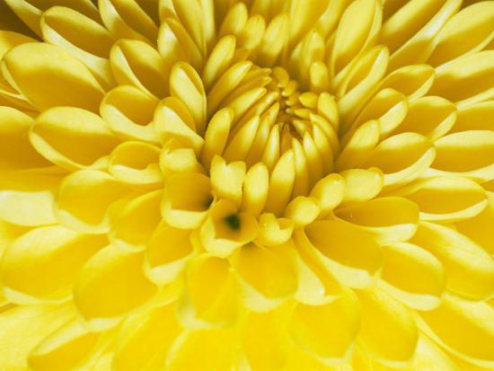 vlad-kharitonov-close-up-of-a-yellow-chrysanthemum