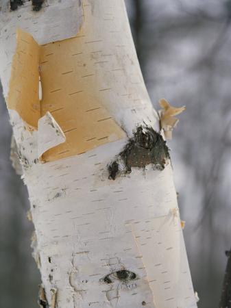 vlad-kharitonov-close-up-of-the-bark-of-a-birch-tree