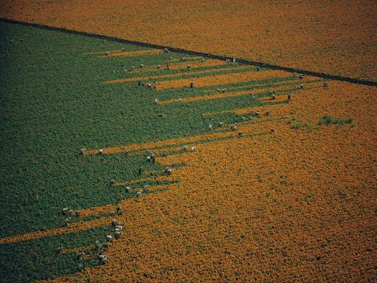 w-e-garrett-aerial-view-of-workers-in-a-marigold-field