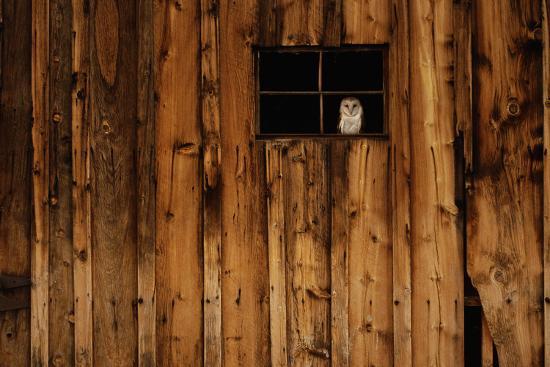 w-perry-conway-barn-owl-in-barn-window