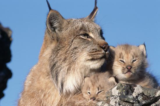w-perry-conway-canadian-lynx-with-young