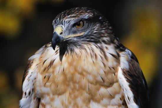 w-perry-conway-ferruginous-hawk