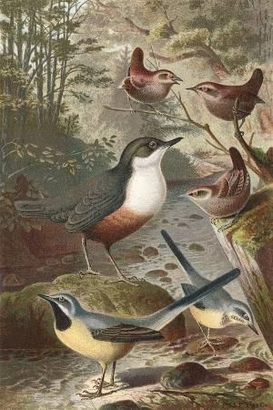 wagtails-and-wrens