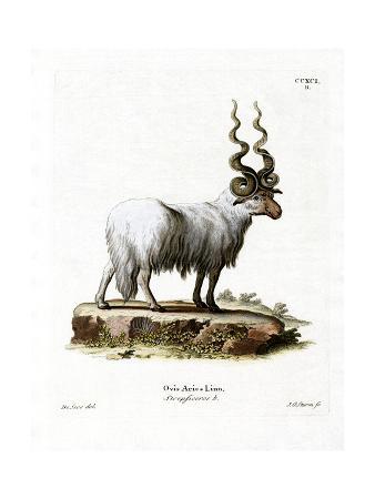 wallachian-sheep