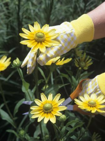 wally-eberhart-gardener-cutting-black-eyed-susans-flowers-rudbeckia-hirta-prairie-sun-variety