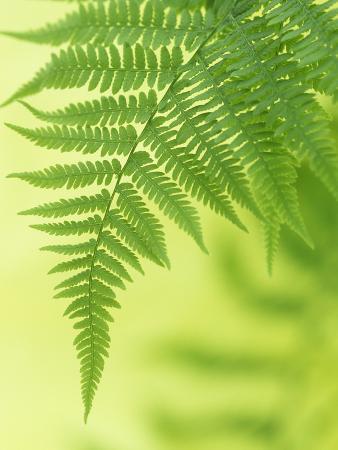 wally-eberhart-lady-fern-frond-athyrium-filix-femina