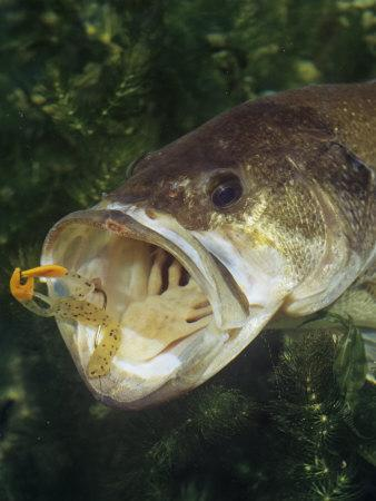 largemouth bass with plastic lure underwater photographic