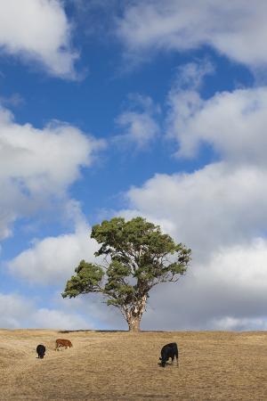 walter-bibikow-australia-fleurieu-peninsula-normanville-field-with-cows