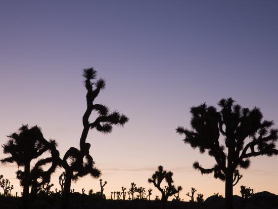 walter-bibikow-california-joshua-tree-national-park-joshua-tree-yucca-brevifolia-in-hidden-valley-dawn-usa