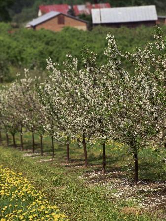 walter-bibikow-spring-in-apple-orchard-lublin-upland-malopolska