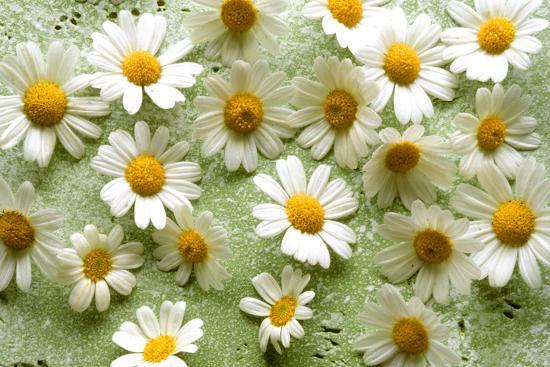 walter-cimbal-daisies