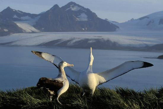 wandering-albatross-courtship-display