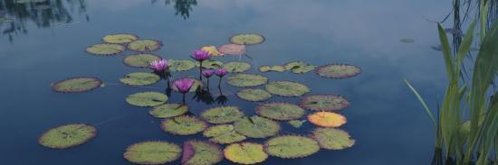 water-lilies-in-a-pond-denver-botanic-gardens-denver-colorado-usa