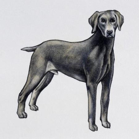 weimaraner-canis-lupus-canidae-drawing