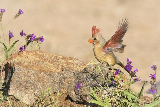 wendy-kaveney-usa-arizona-amado-female-cardinal-with-wings-spread