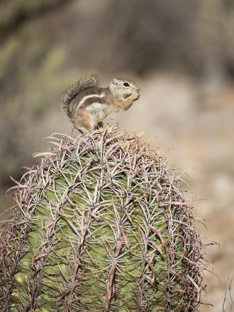 wendy-kaveney-usa-arizona-buckeye-harris-s-antelope-squirrel-on-barrel-cactus