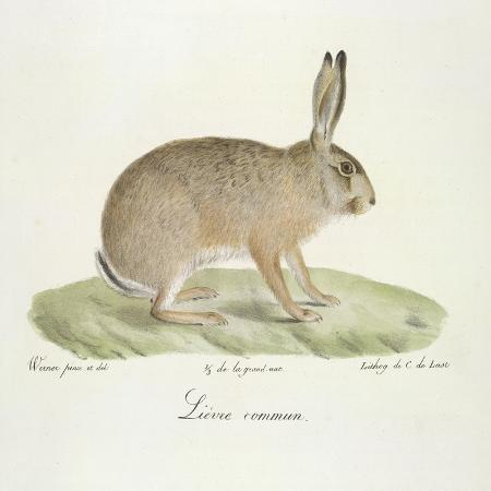 werner-a-common-hare