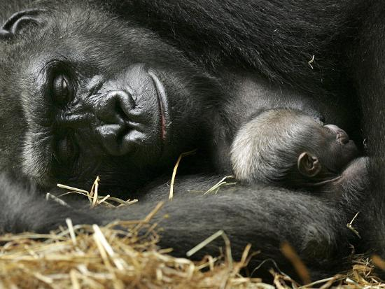 western-lowland-gorilla-cradles-her-3-day-old-baby-at-the-franklin-park-zoo-in-boston