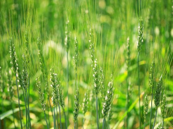 wheat-flowers