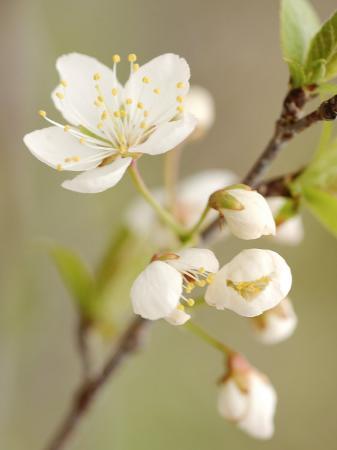 white-apple-blossom