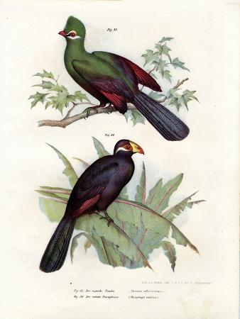 white-crested-turaco-1864