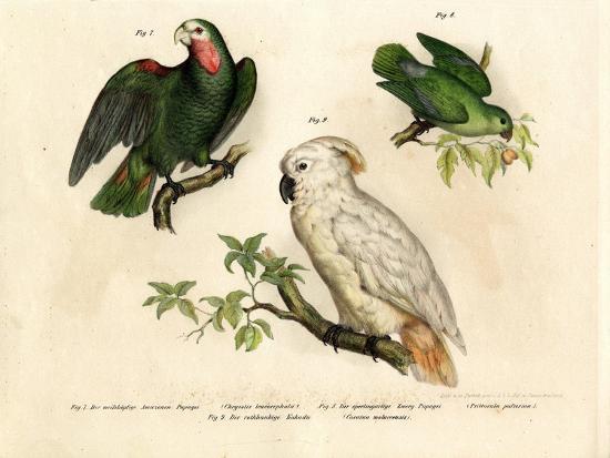 white-headed-parrot-1864