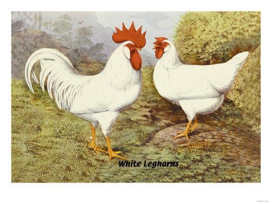 white-leghorns