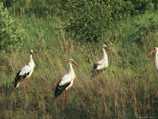 white-storks-in-high-grass