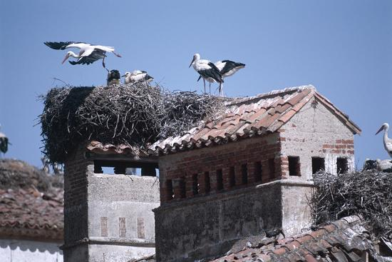 white-storks-nesting-on-buildings-ciconia-ciconia-spain