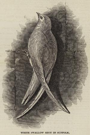 white-swallow-shot-in-suffolk