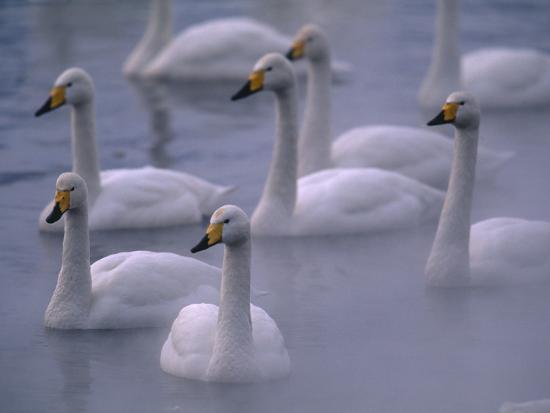 whooper-swans-in-water