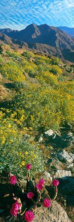 wild-flowers-anza-borrego-desert-state-park-borrego-springs-california-usa
