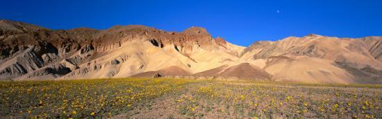 wild-flowers-grown-in-the-valley-death-valley-national-park-nevada-california-usa