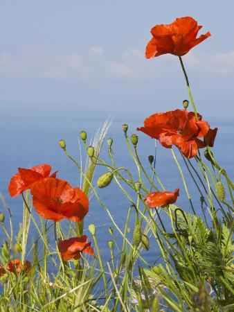 wild-poppy-or-field-poppy-against-sea-and-sky