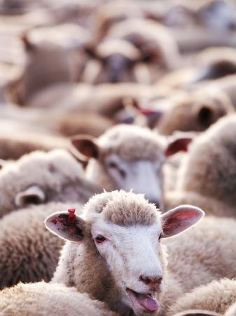 will-salter-sheep-at-saleyard