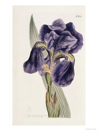 william-curtis-iris