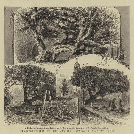 william-henry-james-boot-transplantation-of-the-ancient-buckland-yew-at-dover