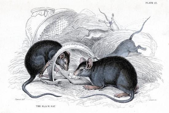 william-jardine-engraving-of-black-rat-caught-in-trap-1838