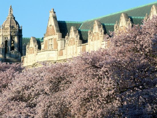 william-sutton-cherry-blooms-at-the-university-of-washington-seattle-washington-usa