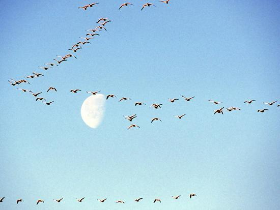 william-sutton-flock-of-snow-geese-flies-before-a-setting-moon-washington-usa