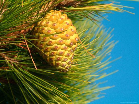 william-sutton-pine-cone-in-tree-new-zealand