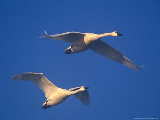 william-sutton-trumpeter-swans-in-flight-skagit-valley-washington-usa