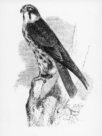 william-yarrell-the-hobby-illustration-from-a-history-of-british-birds-by-william-yarrell-first-published-1843