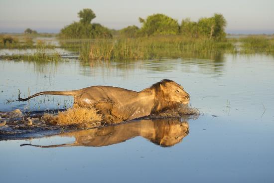 wim-van-den-heever-lion-panthera-leo-crossing-water-okavango-delta-botswana