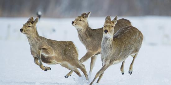 wim-van-den-heever-sika-deer-cervus-nippon-three-females-running-and-playing-in-snow-hokkaido-japan-march