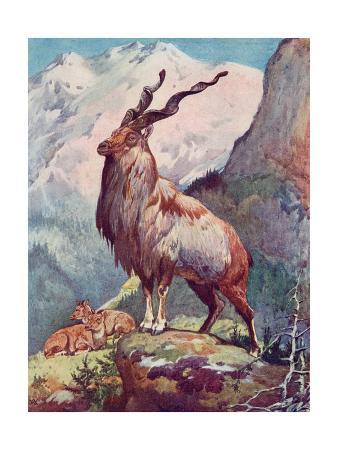 winifred-austen-goat-markhor-1909