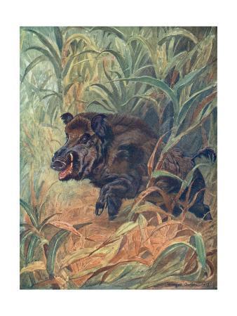 winifred-austen-pig-wild-boar-indian